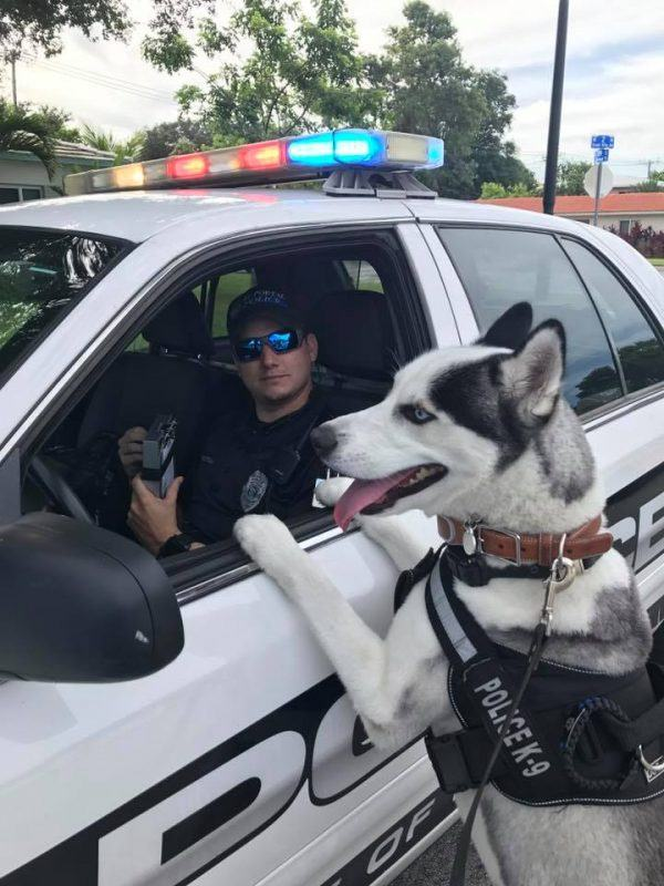 Siberian Husky Sworn Into Police Service As Therapy Dog Opslens